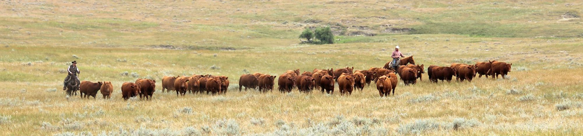 Pieper Red Angus